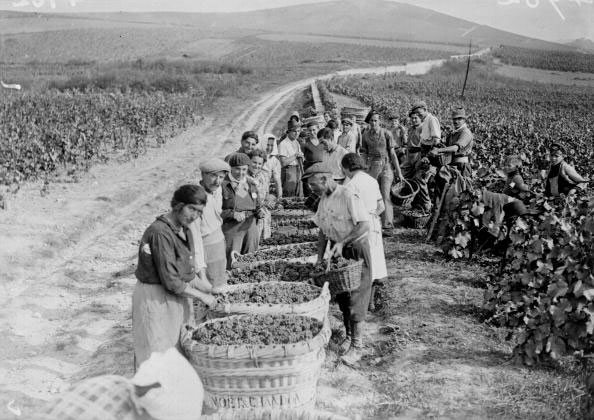 Credit: Decanter, Moet et Chanon harvest during WW2