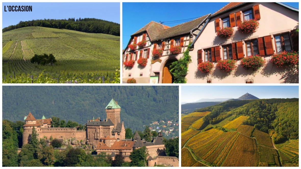 Grand Cru PRAELATENBERG, Haut-Koenigsbourg castle and Domaine Allimant-Lauger, Credit: Wines of Alsace and Tourisme Alsace