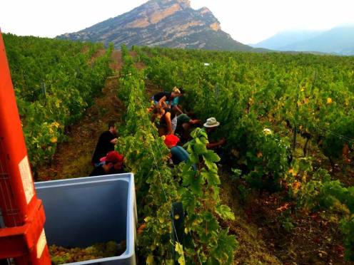 The 2016 wine harvest in Corsica, Credit: Vins de Corse