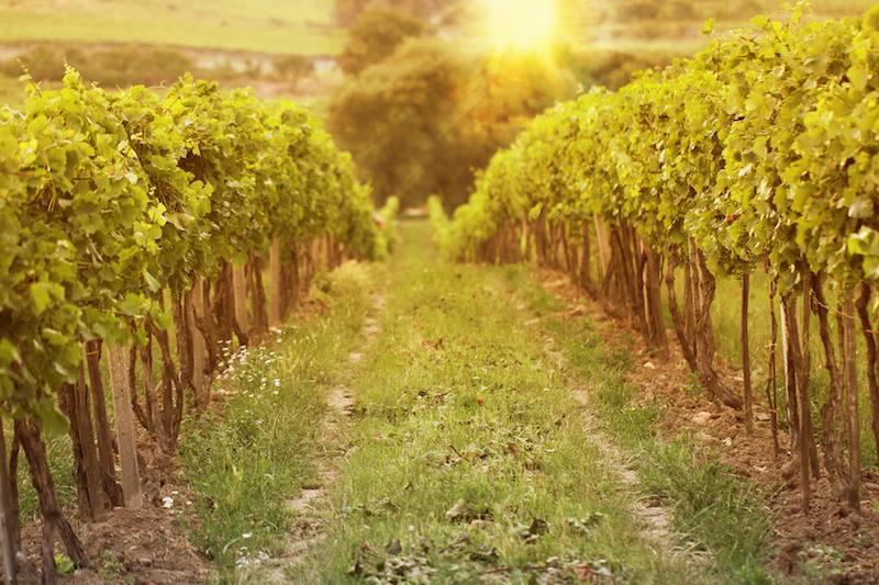 stemmari-vineyards