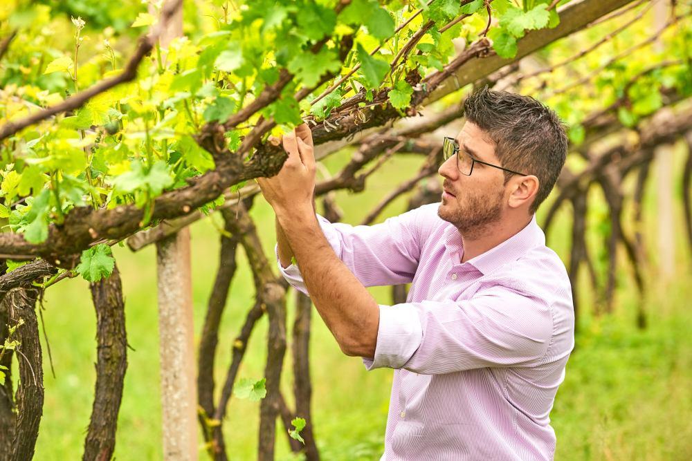 Pergola vines, vineyards, trellis system