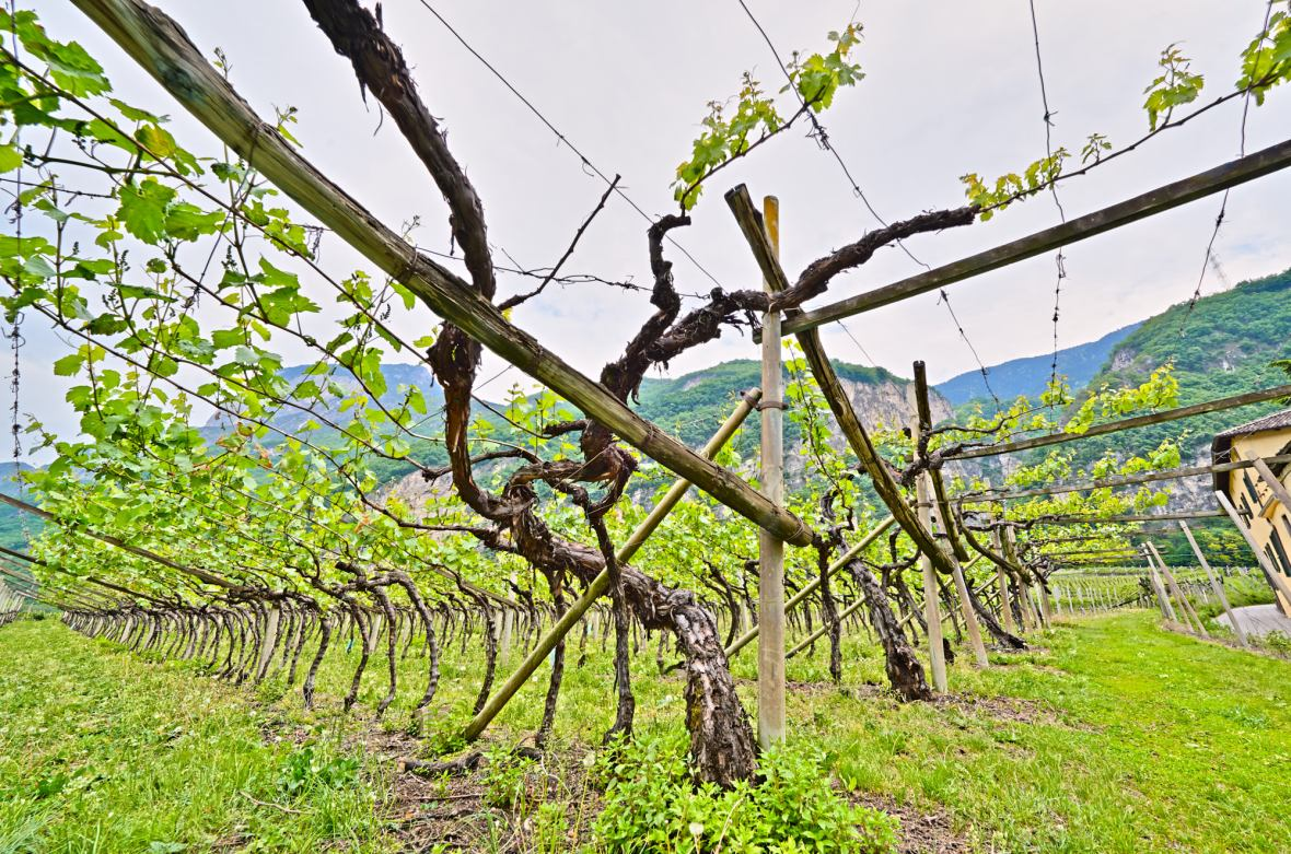 Pergola Vineyards, Mountain Vineyards, High Altitude Wine