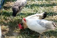 Native and ancient chickens. Courtesy: Rural Festival Emilia