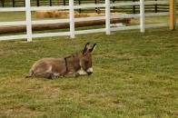 A sweet donkey rests. Courtesy: Rural Festival Emilia