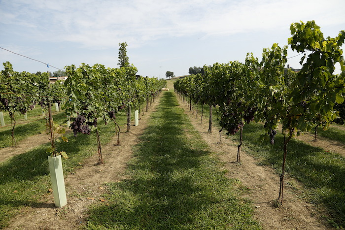 Italian Vineyards, Indigenous Grapes, Vinodiversity