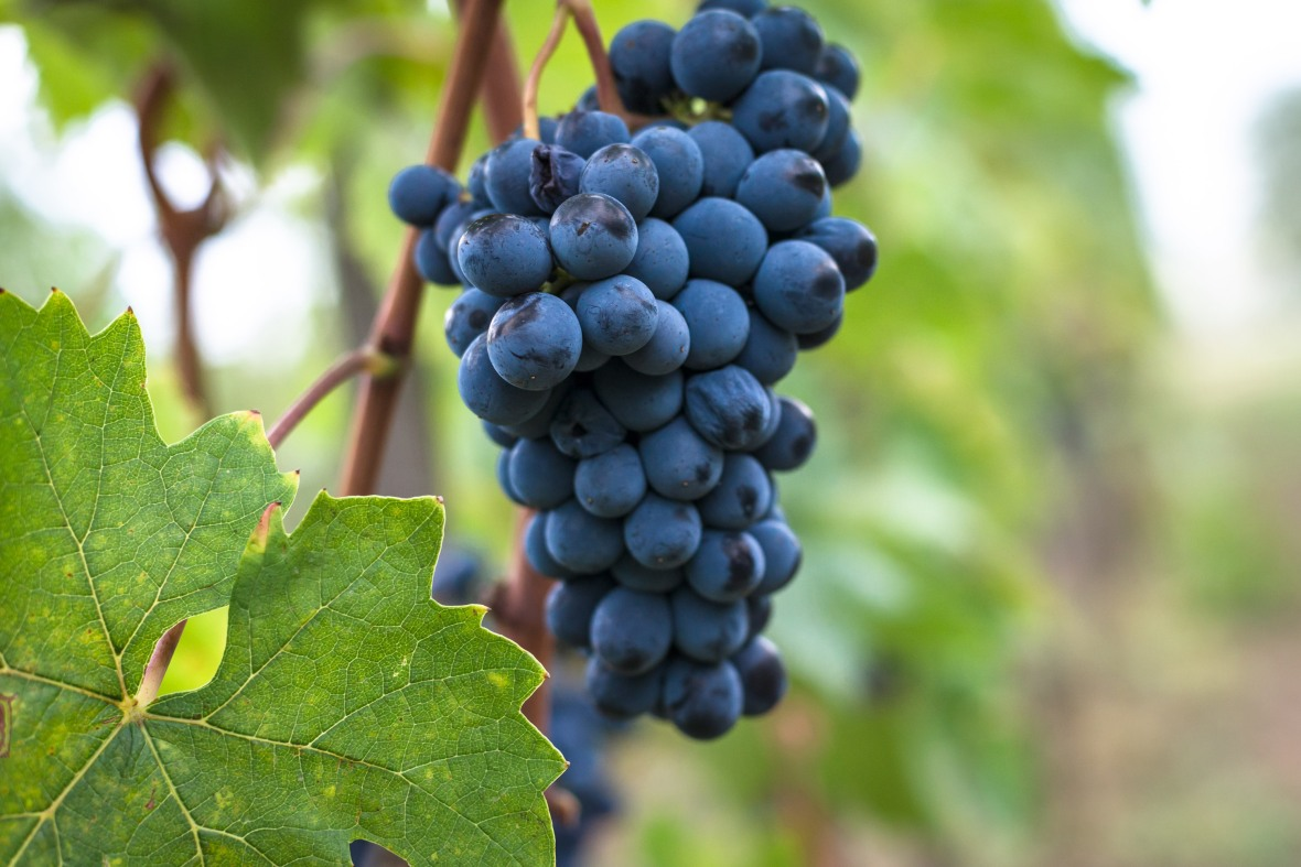 What is Sangiovese? Types of Italian red wine, Chianti wine