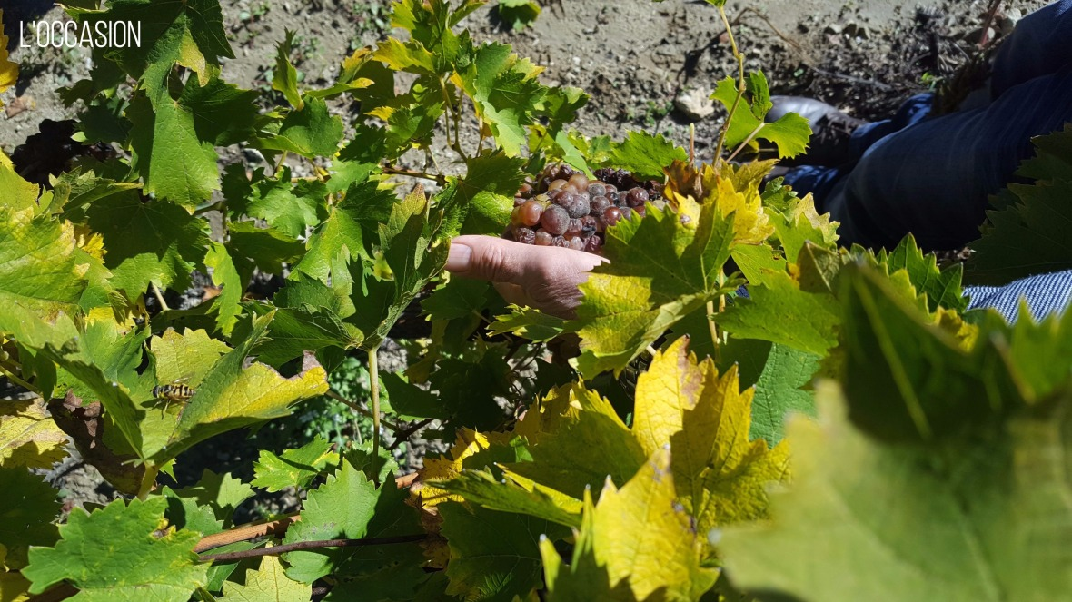 Late harvest, vendage tardive, vignobles, vineyards
