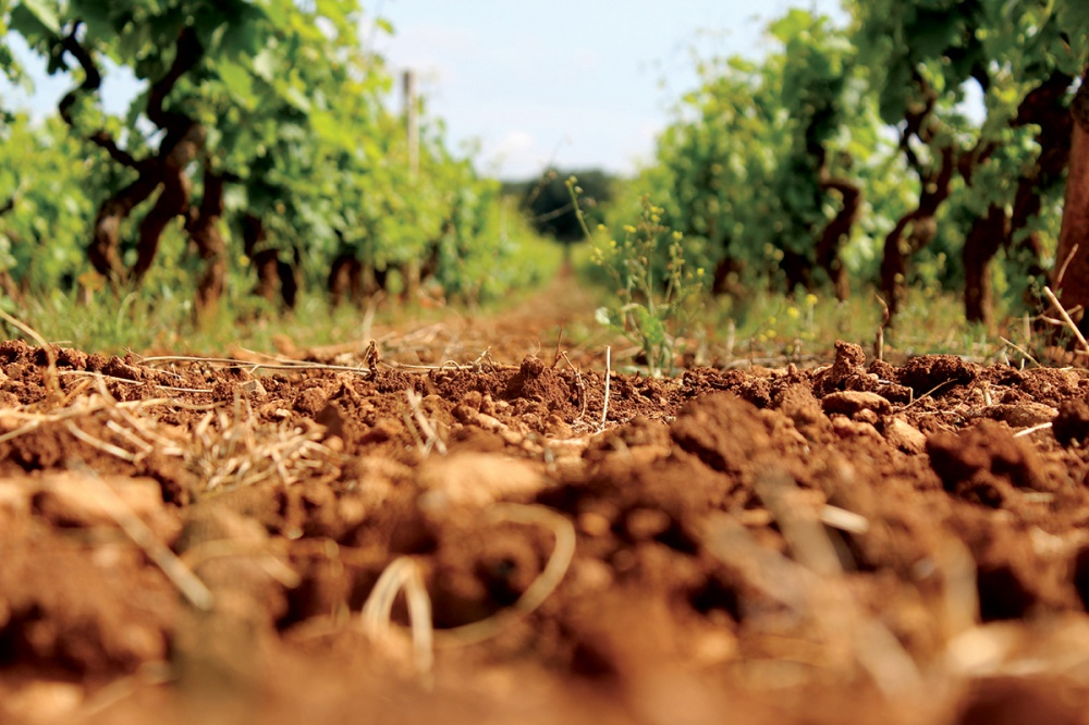 vineyard, soil, vines, Italian vineyard