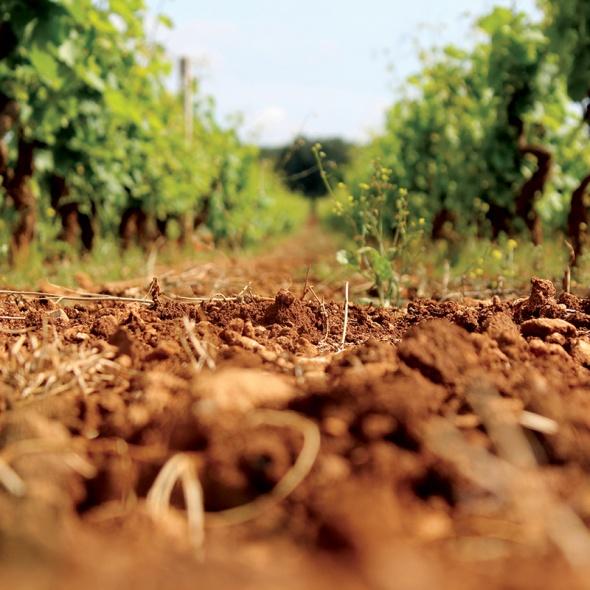 vineyard, soil, vines, Italian vineyard