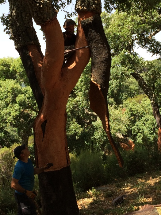 Cork tree, rainforest, sustainable forestry, nature, ecology