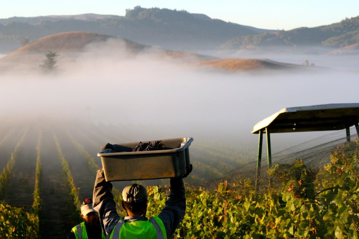 Petaluma gap america s newest wine region l 39 occasion for America s second harvest