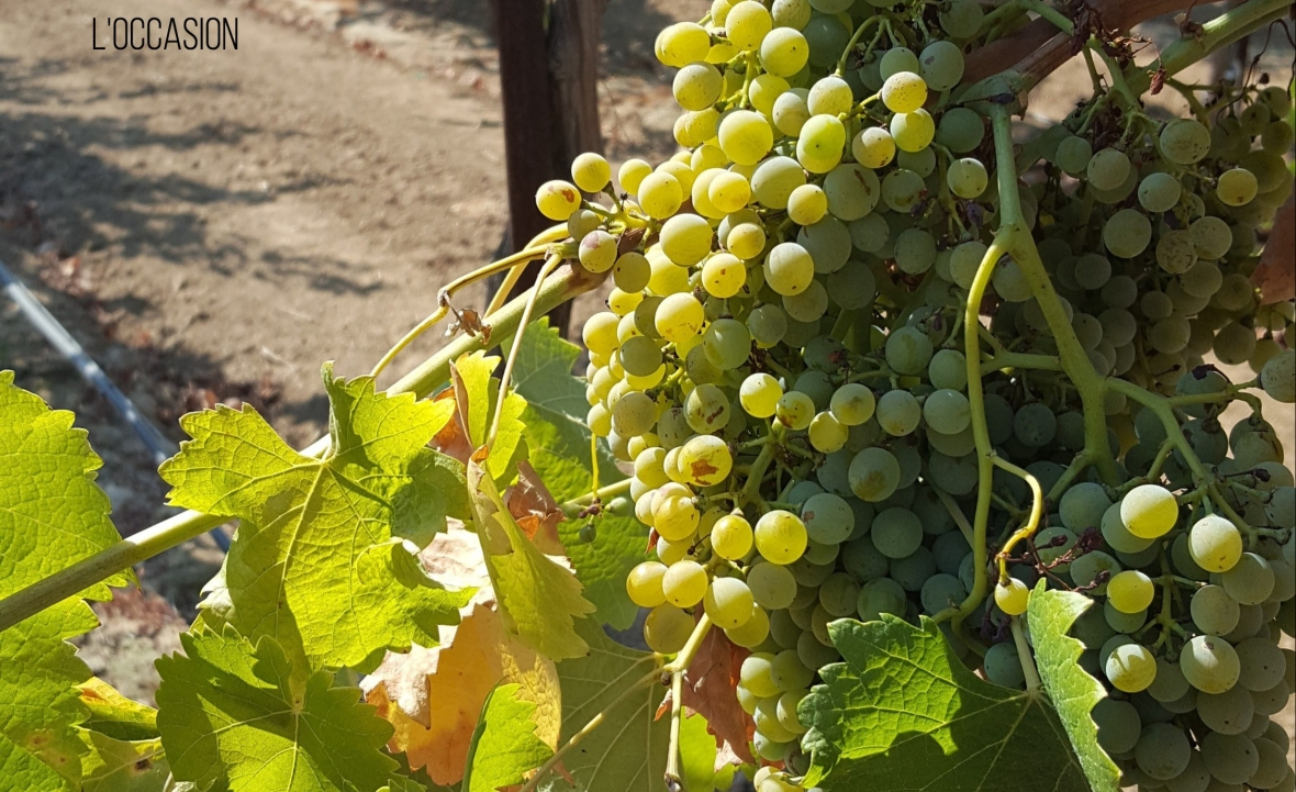 unique wine, Lodi wine, white wine, fresh wine for summer