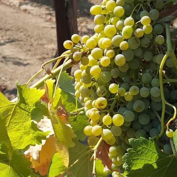 unique wine, Lodi wine, white wine, fresh wine for summer