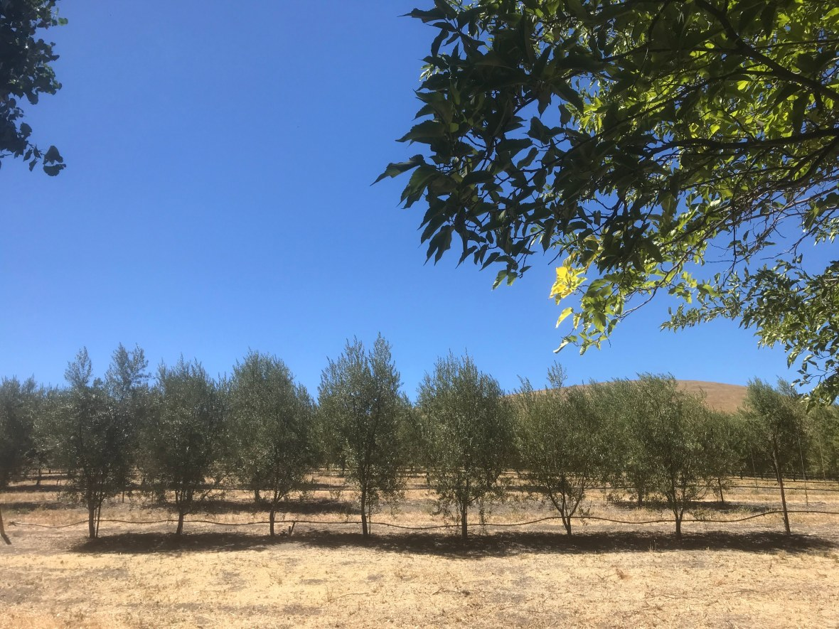 California olive oil, olives and climate change, Tuscany