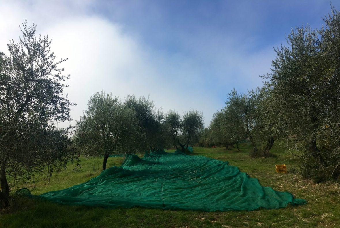 olive oil, Italian olive oil, olive grove, Chianti classico